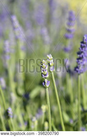 Common Lavender Essence Purple Flowers - Latin Name - Lavandula Angustifolia Essence Purple (lavandu