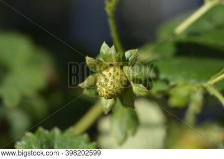 Strawberry Toscana Fruit - Latin Name - Fragaria X Ananassa Toscana