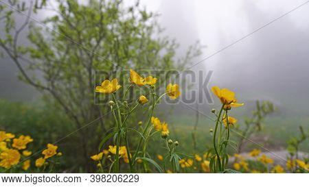Yellow Flowers In The Fog. The Whole Forest Is In A Heavy Fog. Yellow Flowers, Trees, Green Grass An