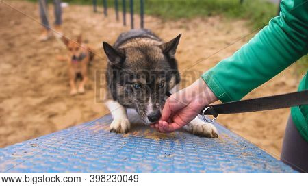 Dog Trainer Hand Giving A Treat To Obedient Dog. Training West Siberian Laika On The Polygon. High Q
