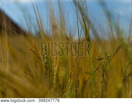 Wheat Field Closeup In Thuringia At Summer In Thuringia