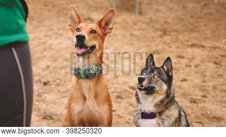 Beautiful West Siberian Laika And Mixed Breed Dog Sitting In The Sand And Looking At Their Woman Own
