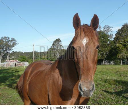 Horse In Paddock At Willawarrin