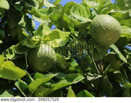 Bunches Of Fresh Green Ripe Lime On Lime Tree Branches In Citrus Garden. Unripe Juicy Lime On Branch