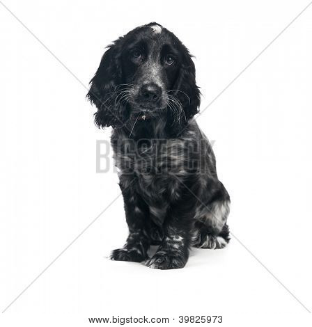 Cocker Spaniel puppy dog isolated on a white background poster