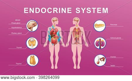 Human Endocrine System, Glands And Their Location In The Body Information Vector Illustration For Ed