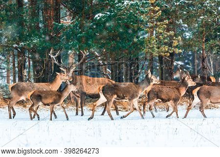 Christmas Fairytale. Winter Wildlife Landscape With Noble Deers During Snowstorm. Artistic Winter Ch