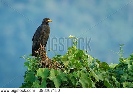 Common Black Hawk - Buteogallus Anthracinus  A Big Dark Bird Of Prey In The Family Accipitridae, For