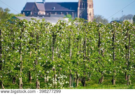 Springtime In Fruit Region Betuwe In Netherlands, Dutch Church And Blossoming Orchard With Apple, Pe