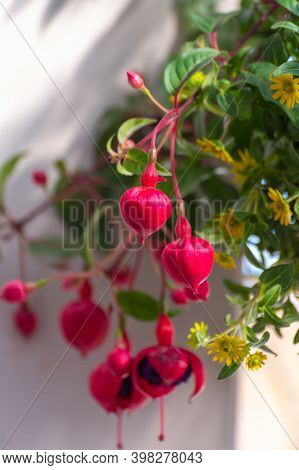 Colorful Fuchsia Plant In Hanging Flower Pot