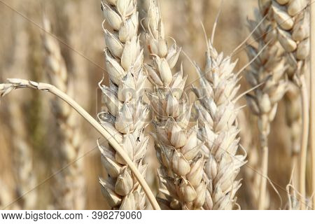 Grain In The Field, Grains Of Wheat In The Field, Ripe Grain