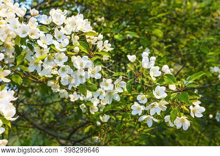 True Pearly White Blooming Apple Tree. Beautiful Spring Flowers