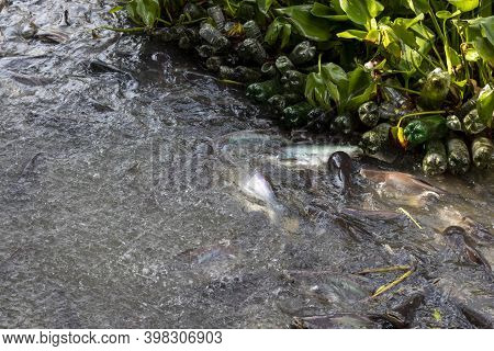 Many Pangasius In The Chao Phraya River In Nonthaburi Province In Thailand
