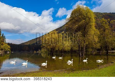 Lovely quiet lake in the Dolomites. Flock of white swans on the lake Fuzine. Magnificent colors of autumn. Yellow trees are reflected in the lake. Grand mountain range Dolomite Alps