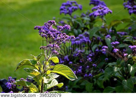 They Shoot Their Leaves Behind The Sun. The Leaves Are Dark Green In Color, Coarsely Hairy And Deepl