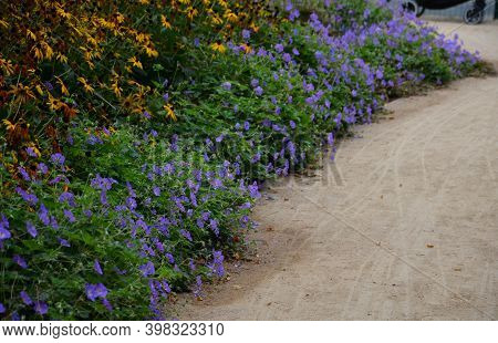 Blue Recumbent Perennials Grow At The Edges Of The Pavement From Marble Granite Cubes, Or On A Retai