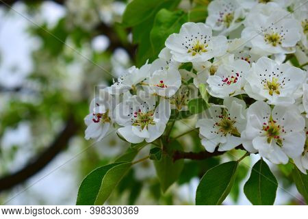 On A Sunny Spring Day, The Wild Pear Pyrus Communis Grows In The Mountains. Flowering Branch Of Wild