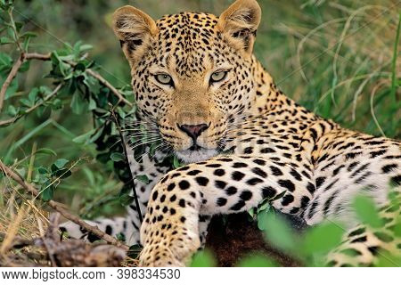 A leopard (Panthera pardus) resting in natural habitat, South Africa
