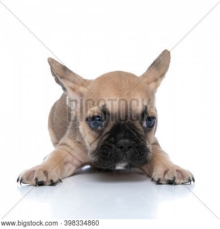 little french bulldog dog stretching his paws and laying down against white background
