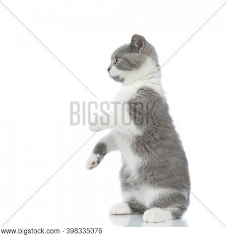 side view of a playful british shorthair cat having fun, standing on hind legs against white background