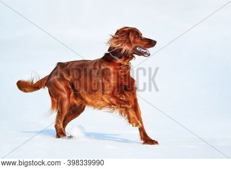 Dog breed Irish Red Setter. Wintertime horizontal outdoors image.