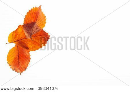 Dry Red Leaves On A White Background