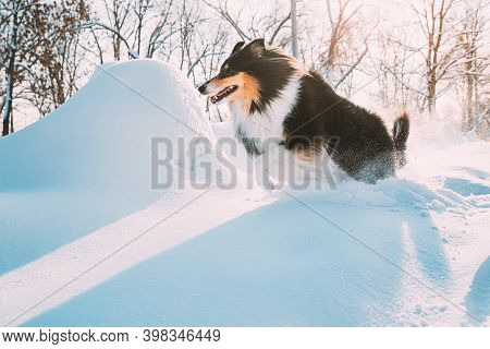 Funny Young Shetland Sheepdog, Sheltie, Collie Fast Running Outdoor In Snowy Park. Playful Pet In Wi
