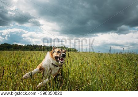 Angry Aggressive Mad Dog Running Outdoors In Green Meadow On Camera.