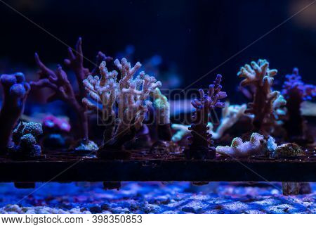 Corals Getting Propagated By Fragmenting In A Under Water Coral Farm.