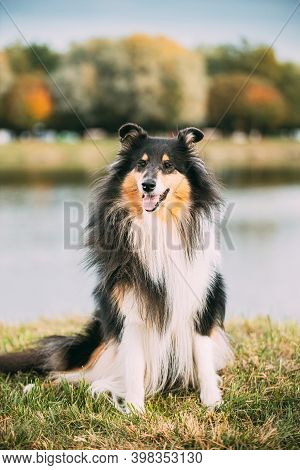 Tricolor Rough Collie, Funny Scottish Collie, Long-haired Collie, English Collie, Lassie Dog Posing