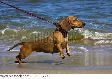 Dachshund On The Shore Of The Blue Sea. Dog On A Leash. Holidays With A Pet