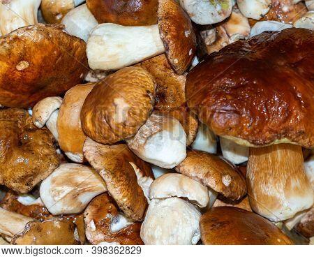 Fresh Harvest Of Large Porcini Mushrooms In A Basket.