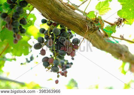Growing Grape Fruit Plant Tree In Vineyard Farm
