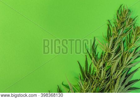 Cannabis Branches On A Green Background, Marijuana Plant As A Therapeutic And Recreational Drug, Pla