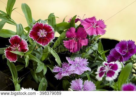 Many Types Of Colorful Variety Of Dianthus Flowers . Beautiful Collection Of Colorful Multicoloured