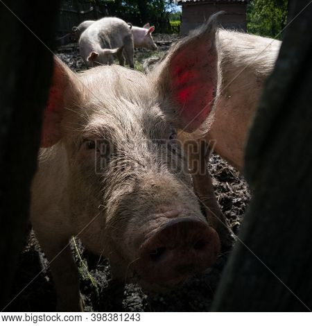 Close Up Of Domestic Pig Head With Dirty Snout And Head Overgrown With Bristles Inside Pig Pen Durin