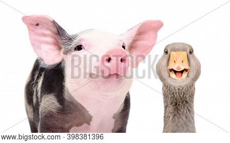 Portrait Of Funny Pig And Goose, Closeup, Isolated On White Background