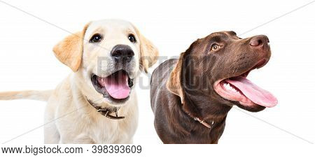 Portrait Of Two Curious Labrador Puppies Together Isolated On White Background