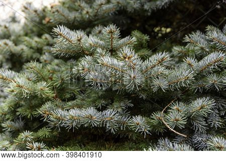 Mountain Spruce Branch. Picea Abies In Autumn.