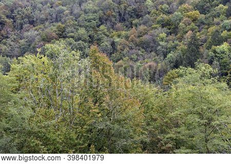 Forest With Autumn Colors. Detail Of Mountain Larch And Fir Trees.