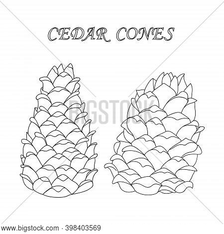 Two Outline Cedar Cones In A Cartoon Style. Nature Design Element. Hand Drawing Cone. Vector Illustr