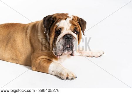 The Dog Is Lying Down With Its Mouth Closed. The English Bulldog Was Bred As A Companion And Deterre