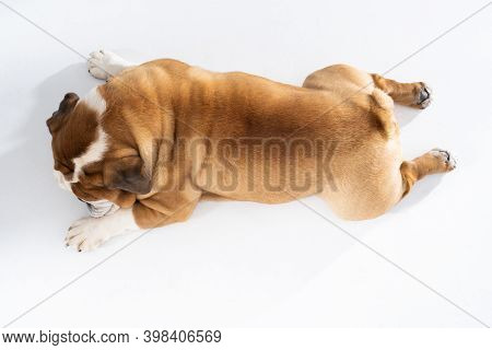 While Resting, The Dog Licks Its Paws. The English Bulldog Was Bred As A Companion And Deterrent Dog