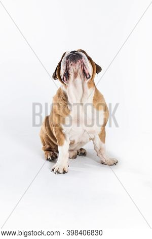 The Dog Is Looking High Up And Waiting For A Treat. The English Bulldog Was Bred As A Companion And