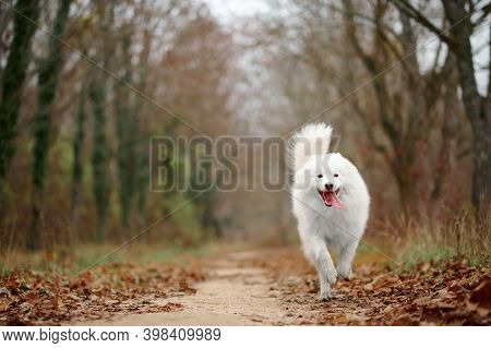 A Samoyed Dog Is Running Fast In The Autumn Park. White Fluffy Purebred Dog Shotted In A Jump Outdoo