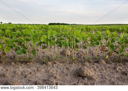 Row Of Young Soybean Plants In Sandy Ground In Spring Time