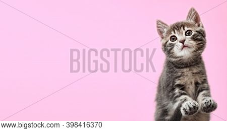 Tabby Kitten On Color Background. Beautiful Playful Baby Cat With Paws On Pink Background. Pet Anima
