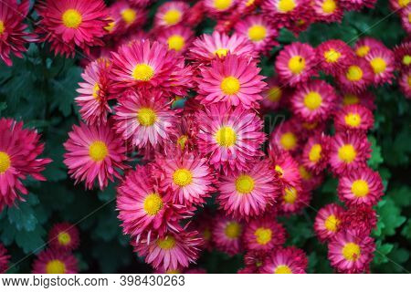 Red Chrysanthemums Close-up. Beautiful Bright Chrysanthemums Bloom In Late Autumn And Winter In The