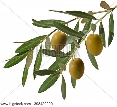 olive branch with three green olives and leaves, isolated on white