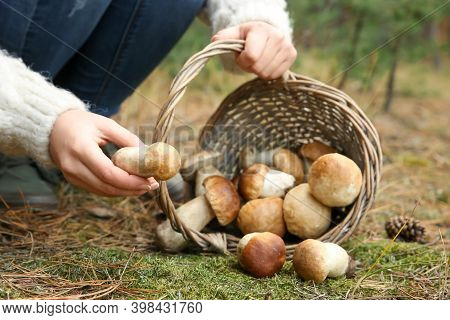 Woman Gathering Scattered Porcini Mushrooms Into Basket In Forest, Closeup